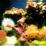 corals inverts - condylactis gigantea - condy anemone stocking in 8 gallons tank - 8 gallon classic!