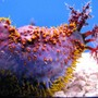 corals inverts - pseudocolochirus violaceus - sea apple stocking in 44 gallons tank - Sea Apple