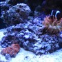 corals inverts - entacmaea quadricolor - rose bulb anemone stocking in 24 gallons tank - My acan and rose bulb anemone with his partner the maroon clown fish.