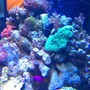 corals inverts - actinodiscus sp. - mushroom coral stocking in 72 gallons tank - Lester playing peek-a-boo