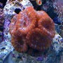 corals inverts - acanthastrea lordhowensis - acan stocking in 65 gallons tank - MULTI-HEAD RED ACAN