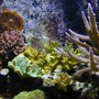 corals inverts - seriatopora hystrix - birdsnest coral stocking in 180 gallons tank - Coral Cluster