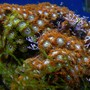 corals inverts - zoanthus sp. - green polyps stocking in 46 gallons tank - Orange and Green Zoo's