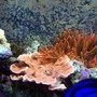 corals inverts - montipora capricornis - montipora capricornis, orange stocking in 150 gallons tank - Orange Monti & 2 Rose Bubble Tip Anemone