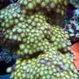 corals inverts - zoanthus sp. - colony polyp stocking in 150 gallons tank - Golden zoanthids