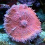 corals inverts - ricordea yuma - ricordea mushroom stocking in 150 gallons tank - Pink Yuma