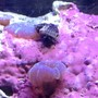 corals inverts - calcinus laevimanus - dwarf zebra hermit crab stocking in 55 gallons tank - Crab