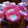 corals inverts - zoanthus sp. - colony polyp, darth maul stocking in 105 gallons tank - Zoas