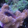 corals inverts - ricordea florida - ricordea mushroom stocking in 55 gallons tank - Tail Spot Blennie on Pink Ricordias