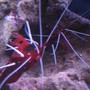 corals inverts - lysmata debelius - blood red fire shrimp stocking in 38 gallons tank - tank 1 both blood shrimp