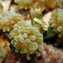 corals inverts - euphyllia paradivisa - frogspawn coral stocking in 55 gallons tank - Hammer Coral