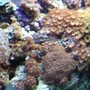 corals inverts - zoanthus sp. - colony polyp stocking in 112 gallons tank - assorted poylps