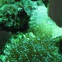 corals inverts - euphyllia paranchora - hammer / anchor coral, branching stocking in 29 gallons tank - coral