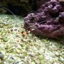 corals inverts - stenopus hispidus - banded coral shrimp stocking in 72 gallons tank - Coral Banded Shrimp