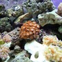 corals inverts - zoanthus sp. - colony polyp stocking in 55 gallons tank - Coral