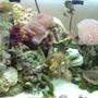 corals inverts - euphyllia paradivisa - frogspawn coral stocking in 55 gallons tank - Coral setup on 55 gal
