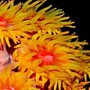 corals inverts - tubastrea faulkneri - orange sun coral stocking in 24 gallons tank - Closeup of Sun Coral