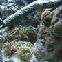 corals inverts - euphyllia paradivisa - frogspawn coral stocking in 24 gallons tank - Sift's Cave
