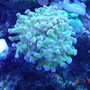 corals inverts - euphyllia paradivisa - frogspawn coral stocking in 110 gallons tank - frog spaun
