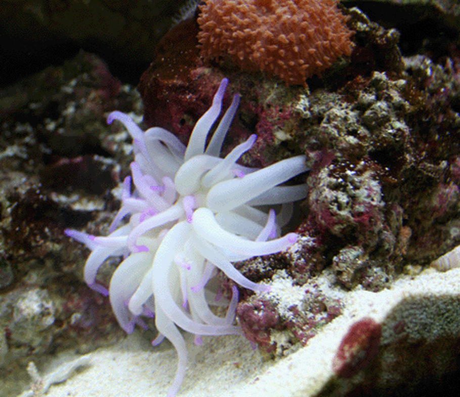 Guide for keeping anemones in a reef tank - Anemone species caring color refinement ...