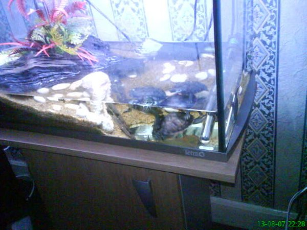 corals inverts - pseudemys rubriventris - red bellied terrapin stocking in 30 gallons tank - my red belly terrapins