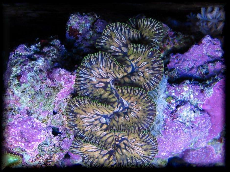 corals inverts - tridacna maxima - maxima clam, gold stocking in 125 gallons tank - teardrop maxima clam