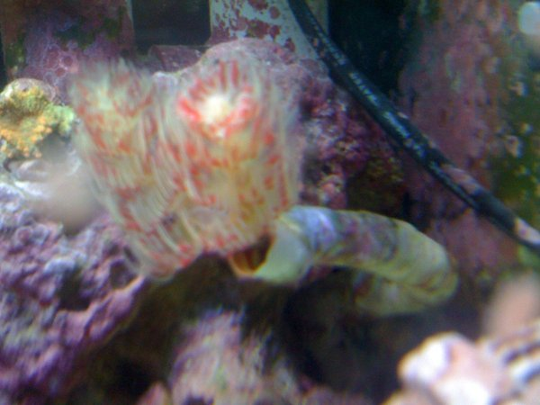 corals inverts - protula bispiralis - hard tube coco worm stocking in 120 gallons tank - coco worm