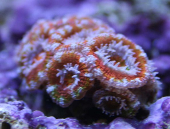 corals inverts - acanthastrea echinata - rainbow acan stocking in 110 gallons tank - Rainbow Acan