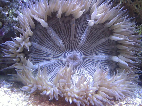 corals inverts - epicystis crucifer - rock flower anemone stocking in 55 gallons tank - Rock Flower Anemone