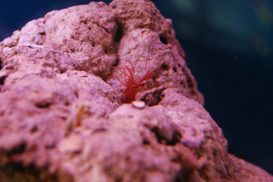 corals inverts - lysmata wurdemanni - peppermint shrimp stocking in 55 gallons tank - Peppermint Shrimp