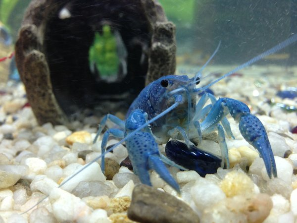 corals inverts - cherax destructor - blue knight lobster stocking in 36 gallons tank - Our electric blue crayfish