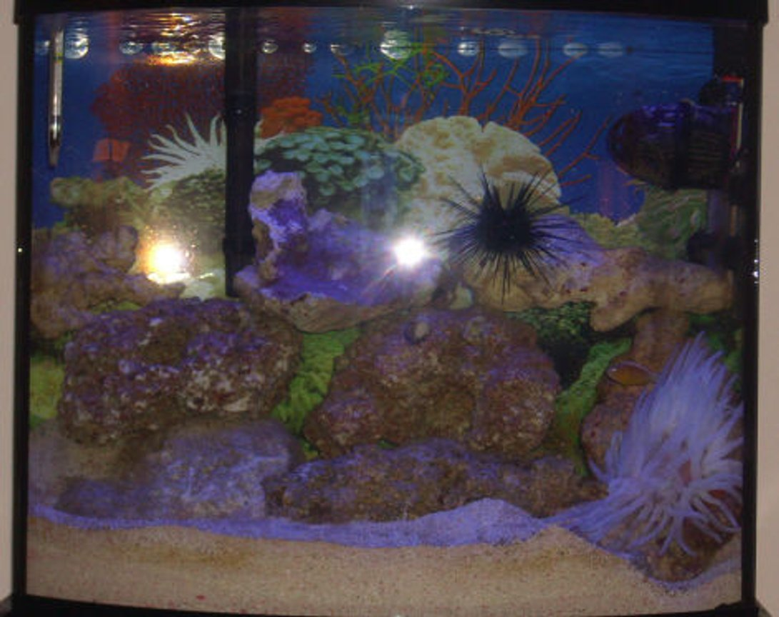 20 gallons saltwater fish tank (mostly fish, little/no live coral) - This small 20 gallon tank takes much maintence but is totally worth it!!! My clownfish actually adapted to the Pink Tip Anemone as you can see in the pictures i have. VERY RARE! Plus i have 8 baby starfish that appered in my tank after my big starfish died.