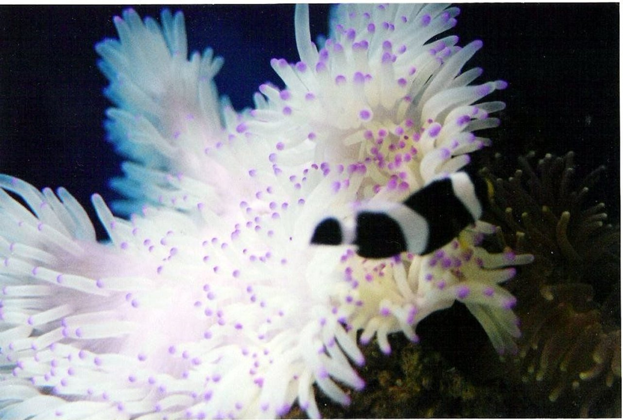 40 gallons saltwater fish tank (mostly fish, little/no live coral) - Black and white clownfish with Sabae anemone