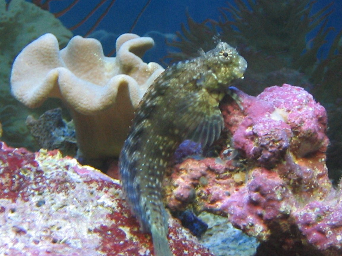 75 gallons saltwater fish tank (mostly fish, little/no live coral) - Lawnmower Blenny