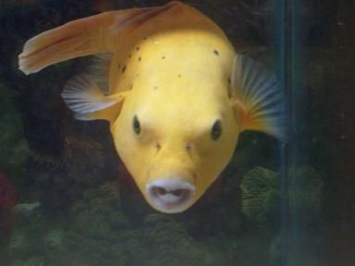 450 gallons saltwater fish tank (mostly fish, little/no live coral) - bumble bee my golden puffer... smiling for the camera....such a ham!!!