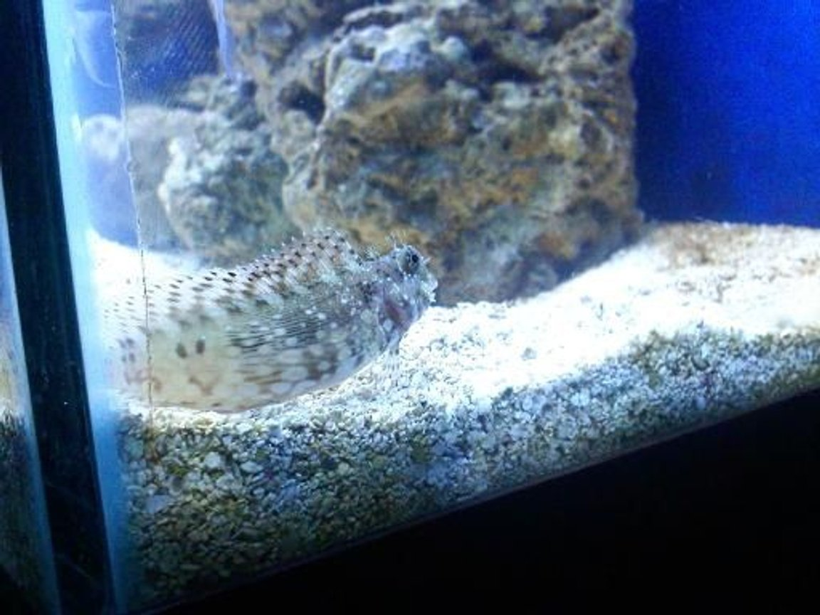 55 gallons saltwater fish tank (mostly fish, little/no live coral) - lawnmower blenny