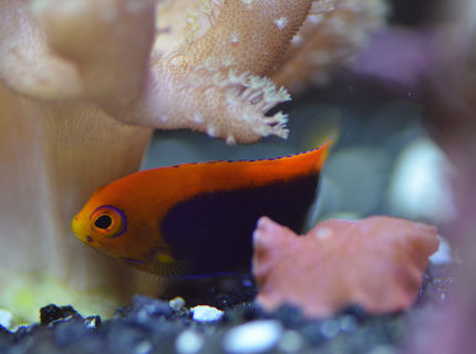 Rated #4: 29 Gallons Saltwater Fish Tank - Flameback Angel