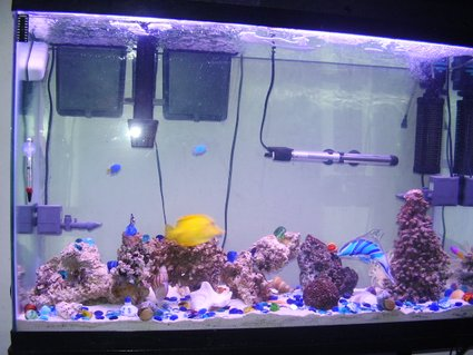 Rated #51: 45 Gallons Saltwater Fish Tank - 45 Gallon Salt Water Fish Tank. Started on January 27th, 2006. This picture was taken on February 15th,, 2006. There are 2 3-Stripe Damsels, 2 Domino Damsels, 2 Yellow- Tail & 2 Yellow-Bellied Damsels, Blue Damsel, Royal Gramma Basselet, & Yellow Tang, anenome, crabs, shrimp, snail, starfish, & about 25/30 lbs. of live rock.