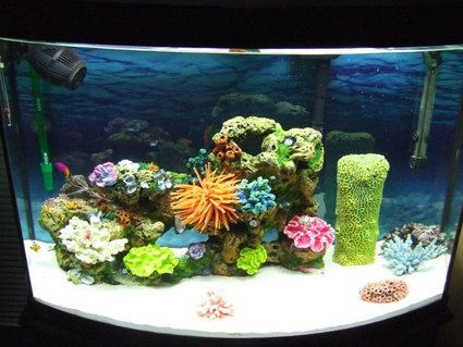 Rated #51: 36 Gallons Saltwater Fish Tank - I have 2 clown fish, 1 royal gramma, 1 purple fire goby, 1 skunk cleaner shrimp, and 1 blue knuckle hermit crab :DD