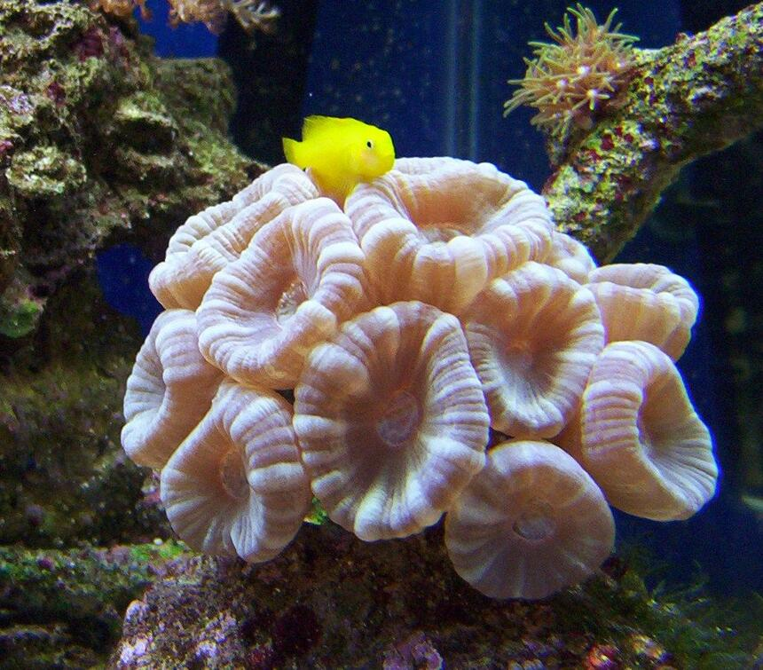 Rated #65: 65 Gallons Saltwater Fish Tank - blue trumpet coral! goby likes his pic taken