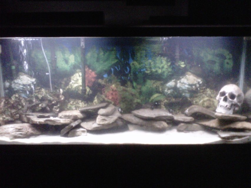 Rated #23: 55 Gallons Saltwater Fish Tank - My 55 gallon mostly local tank, 2 black fish (tautog), 1 killie, 3 striped damsels, 3 domino damsels, 4 sand dollars