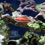 40 gallons saltwater fish tank (mostly fish, little/no live coral) - Carpenter's Flasher Wrasse