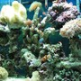 90 gallons saltwater fish tank (mostly fish, little/no live coral) - My tank with some corals and mostly nemos