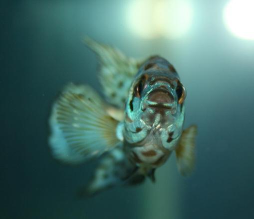 Photo #15 - Electric Blue Jack Dempsey - 8 Oranda Goldfish