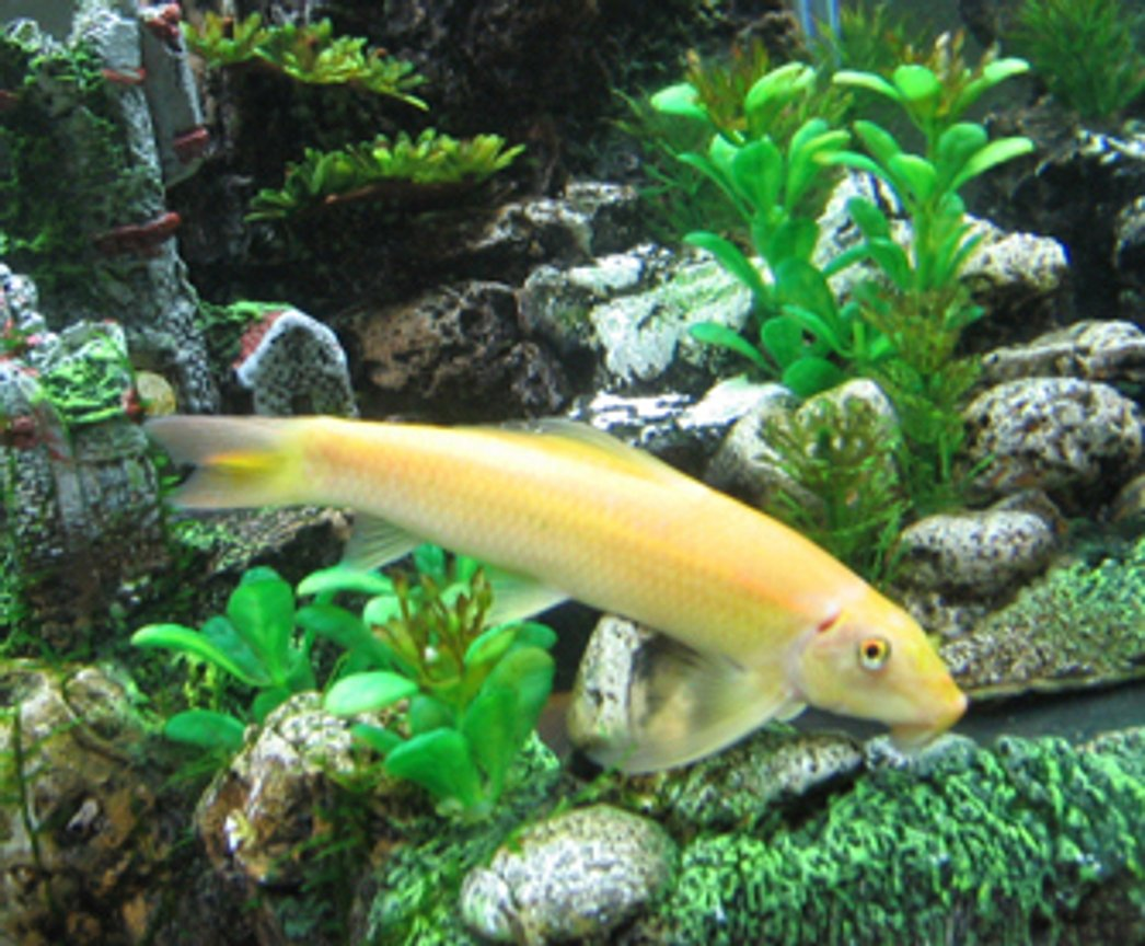 freshwater fish - gyrinocheilos aymonieri - gold algae eater - I have a 55 Gallon Freshwater Tank... I have 1 Neon Tetra (19 died), 3 Black Skirt Tetras, 3 Gold Algae Eaters, 1 Gold Snail, and 1 Blue Gourami... I'll be tossing in a Piranha soon... just kiddin!
