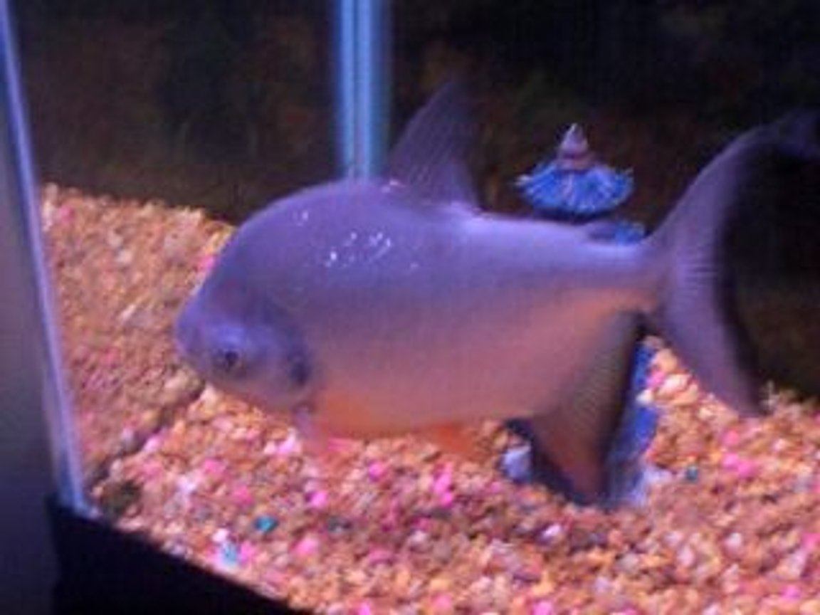 freshwater fish - colossoma brachypomus - pacu stocking in 55 gallons tank - Pacu1