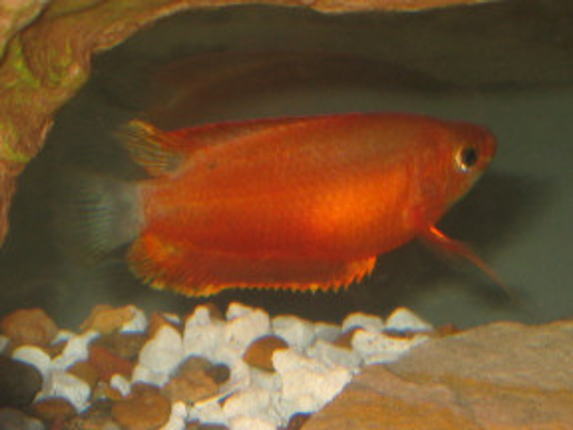 freshwater fish - trichogaster trichopterus - gold gourami stocking in 18 gallons tank - Gourami (Trichogaster Trichopterus)