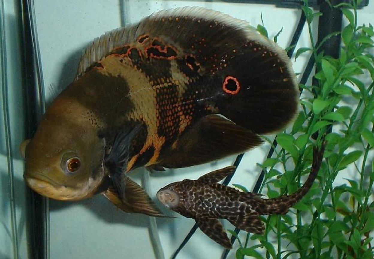 freshwater fish - astronotus ocellatus - tiger oscar stocking in 55 gallons tank - Smokey, 9 inch Oscar. This is an old picture, but its one of my fav.s He is now 10 1/2 inches long.