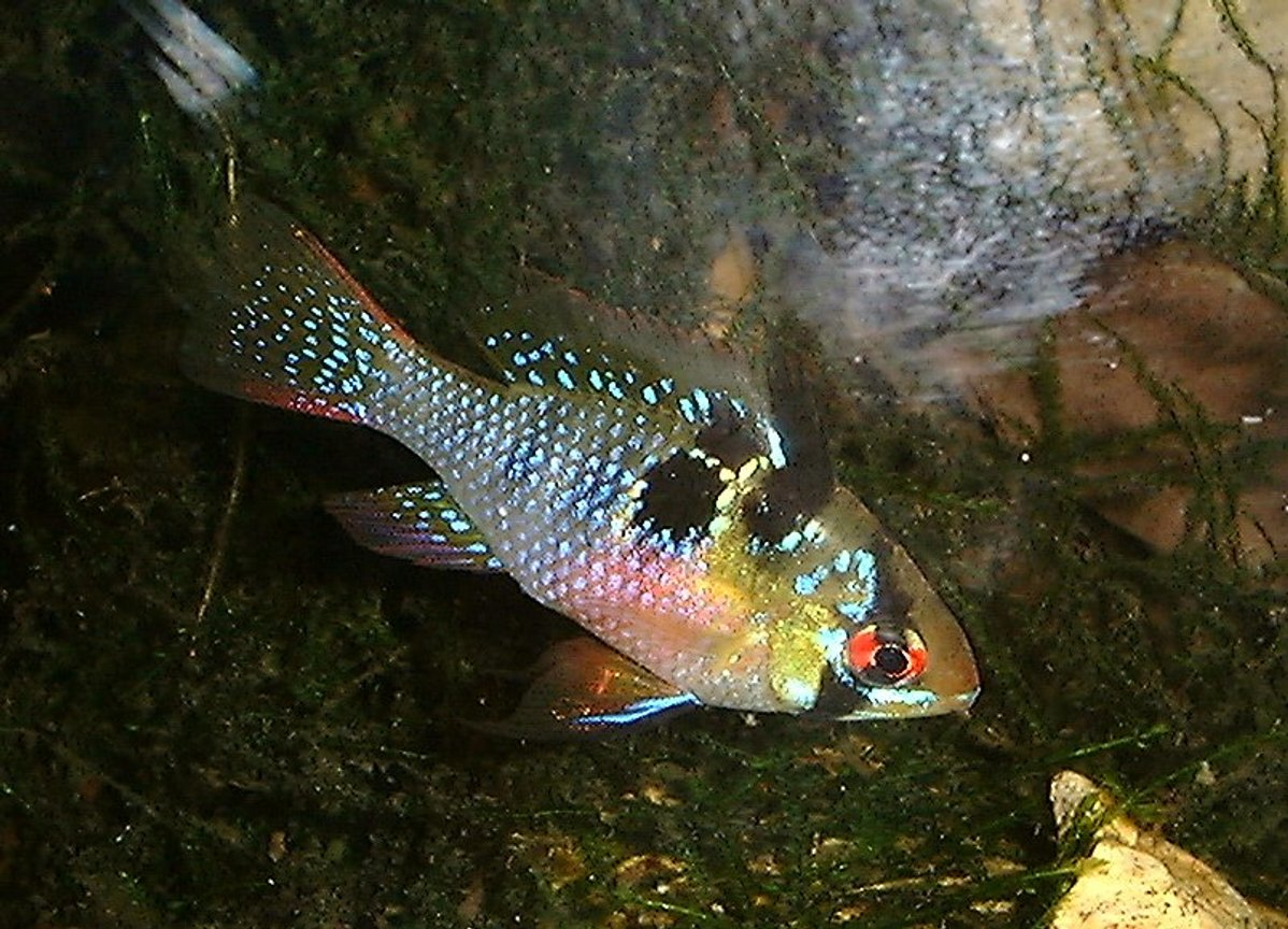 freshwater fish - papiliochromis ramirezi - german blue ram stocking in 55 gallons tank - Female Butterfly Ram