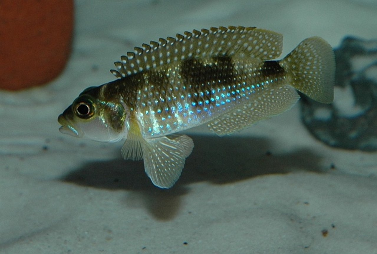 freshwater fish - lamprologus stappersi - pearly ocellatus - Male 'Lamprologus' stappersi (meleagris). He loves to show off, and he really shows why shelldwellers are such wonderful fish. Believe it or not, this fish is an inch long.